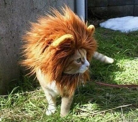 essex lion cat funny