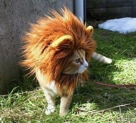 essex lion cat funny